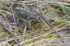 common Frog / Bruine Kikker (rob.bremer) Tags: ranatemporaria bruinekikker commonfrog spring duinen dunes duinlandschap doornvlak nature natuur noordhollandsduinreservaat noordholland voorjaar