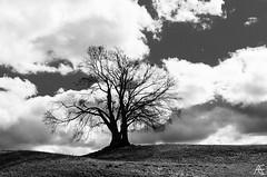 Ansel's tree (axeleckenberger) Tags: anseladams bayern germany illfordortho80 landstetten papergrade0 starnberg tree xequalspresets clouds highcontrast hills sky de