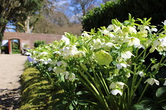 Heavenly Hellebores (Explored) (JulieK (enjoying Spring in Co. Wexford)) Tags: hellebore canoneos100d lowpov spring flower colcloughwalledgarden wexford ireland irish fauna 2017onephotoeachday inexplore 100flowers2017
