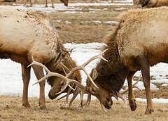 IMG_0479 Winter sparring (cmsheehyjr) Tags: cmsheehy colemansheehy nature wildlife elk nationalelkrefuge wyoming jacksonhole jackson