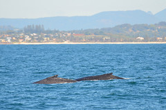 Humpback 4298(ab) (bevanwalker) Tags: whale humpback ocean mamal land mountains beach boat sand shore hills