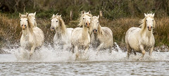 GROUP OF HORSES40 (Becks341) Tags: horses ponies herd wild galloping freedom sea marshes water camargue grey white mares stallions