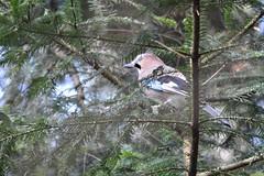 Eichelhäher - garrulus glandarius (krueesch) Tags: vögel birds rabenvogel häher eichelhäher jay eurasianjay