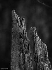 Baumstumpf (fredy_egdorf) Tags: 2017 nordkirchen schlosspark spitzebaumstumpf tonalityck monochrome textures