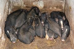 l'heure de la sieste!!Philippines_7424 (ichauvel) Tags: cochons pigs animaux animals groupe group dormir sleeping philippinesluzonisland provincedukalinga village asie asia southeastasia asiedusudest voyage travel interieur inside getty