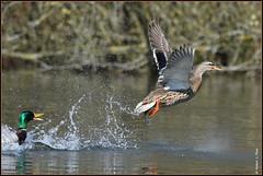 N° 744 / Canard colvert ( Anas platyrhynchos ) Focus Distance - 19.95 m (norbert lefevre) Tags: oiseau aquatique gouttelettes plumage canard colvert envol nikon d500 300mmf4