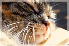 (#3.260) cat (unicorn 81) Tags: animals germany cat cuddle gemütlich behaglich comfortable katze cats kat minka mycat ausruhen sleep relaxing gatto gato hauskatze getigert haustiger schmusetiger haustier stubentiger tier katzen säugetier hauskatzen katzeminka tiere