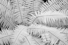 CRW_1134 (Graeme_Wilson) Tags: infrared infra red black white plant leaves spiders photo photoraphy