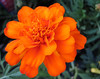 """138/365: Orange Flower 2013-05-18 (George (Patti) Larcher (333K Views - Thank you!)) Tags: nature beauty feast for all with shot you or year captured el best your orangeflower leap mundo por ii"""" house"""" dabba – photos"""" day"""" """"art pictures"""" """"best friends"""" """"a """"flickr shot"""" """"give """"colors colors"""" a photography"""" returners images"""" eyes"""""""" """"catchy """"photos """"group """"project today"""" """"365 want"""" 365"""" less"""" experience"""" pic"""" """"perfect doo"""" """"click """"2012 """"distinguished everyone"""" """"365around """"3662012 """"click"""" 3662012"""" """"yabba montera"""""""