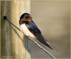 Swallow (Jim Crozier) Tags: island nnr 150500mm 7dsigma swallowrestingoxford eveningsunshinecanon