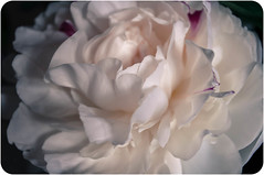 Peony (Francesca Delanty-Granger Photography) Tags: pink flowers white flower texture nature up closeup petals soft close natural cream ivory peony petal gb florist peonies florists textute