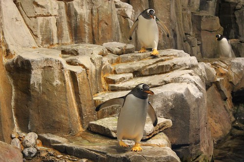 "Penguins walking down some ""steps""."