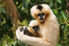 """mother and daughter"" (rogersmithpix) Tags: adelaidezoo whitecheekedgibbon"