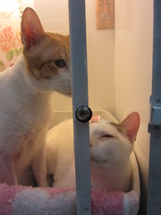 Soi Sam and Chippy have improving in their flu recovery using the vet's oxygen tent (gordon.b.anderson) Tags: cats cat sam chippy soi