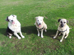 Shepo, Lucy and Punchkin (Rayya The Vet) Tags: dog goldenretriever vet canine australianshepherd dogwalk fostering whippetcross