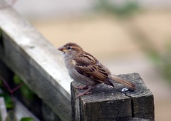 House Sparrow (clare.blandford) Tags: housesparrow gardenbirds
