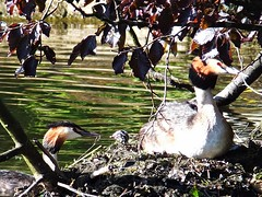 The eggs have hatched!! (lady.bracknell) Tags: liverpool nest egg chick waterfowl seftonpark grebe hatched greatcrestedgrebe