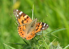 Painted Lady at Ufton Fields (robmcrorie) Tags: england nature lady butterfly painted wildlife reserve fields warwickshire ufton sssi
