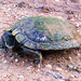 Red-Eared Slider (Melanistic)