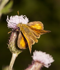 "Skipper Butterfly • <a style=""font-size:0.8em;"" href=""http://www.flickr.com/photos/57024565@N00/9345071006/"" target=""_blank"">View on Flickr</a>"