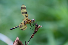 Dragonfly-0523