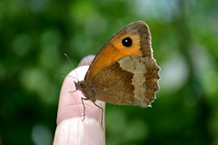 Meadow Brown Butterfly Maniola jurtina (Seventh Heaven Photography) Tags: summer england brown nature butterfly garden wings shropshire britain wildlife meadow butterflies british nikond3200 maniola jurtina lopidoptera