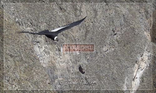 Condor, Colca