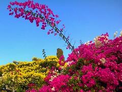 Bougainvillea - בוגנוויליה (yoel_tw) Tags: bougainvillea floresbugambiliasveraneras בוגנוויליה
