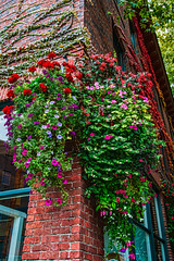 Pioneer Flowers (stephencurtin) Tags: seattle flowers blue windows red color brick green square washington purple state ivy baskets hanging pioneer