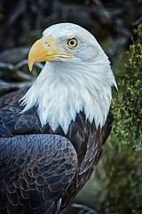 Majesty (stevepamp) Tags: usa proud america eagle symbol baldeagle bald majestic stevepamp