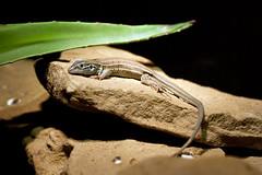 "Desert Grasslands Whiptail Lizard - Cremidophorus 1 • <a style=""font-size:0.8em;"" href=""http://www.flickr.com/photos/30765416@N06/10548496354/"" target=""_blank"">View on Flickr</a>"