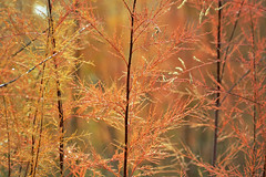 DSC3_1917 (heartinhawaii) Tags: autumn orange brown abstract fall nature dewdrops october colorado bokeh fallcolors seasonal autumnleaves autumncolors fallfoliage foliage coloradoautumn plantwithdewdrops nikond3100