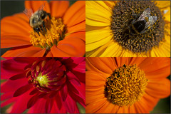 Flowers collage (kimbenson45) Tags: flowers red orange plants macro yellow closeup petals bees centre insects center bumblebee dahlias flowerscolors