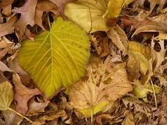 The Quilt (KaDeWeGirl) Tags: newyorkcity autumn brown leaves yellow bronx explore