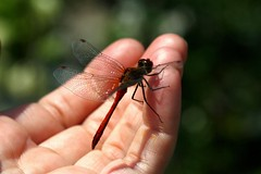 The dragonfly liked my finger. And maybe I am? lol   (series) (halina.reshetova) Tags: red summer brown black nature animals canon insect flying wings eyes closed hand dragonfly finger group july summertime paws brilliant adder flyinginsect notavailable 141113 eyesinsect canoneos1000d wingsinsect pawsinsect closedgroup emptygroup