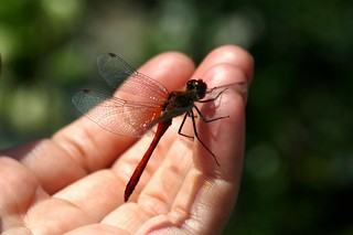 The dragonfly liked my finger. And maybe I am? lol   (series)