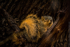 Rainy Day Squirrel (zumipin) Tags: nature rain animals outdoors squirrel michigan grandrapids storms