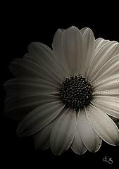 Questo  è per voi  amici di flickr (Peppino Diana) Tags: italy fiori margherita ciociaria ceccano lamicizia fotodigitali fotobiancoenero dianagiuseppe