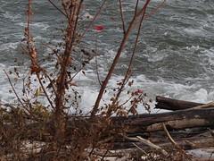 Last Maple Leaf Fall Lake Wave..... (Hawk sky Love and Peace) Tags: wood red white fall water mapleleaf lakeontario blinkagain bestofblinkwinners blinksuperstars