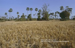 Phnom Penh, landscape near Choeung Ek (blauepics) Tags: field palms landscape rouge cambodia kambodscha khmer killing landwirtschaft feld graves 1993 fields ek agriculture mass landschaft phnom penh palmen choeung massengräber