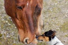 Skyppy has found a new big friend in the Giara! (Nino Fiore) Tags: sardegna horse dog love cane canon 50mm sardinia di doggy f18 cavallo amicizia dolci 6d cagnolino giara tenerezza teneri gesturi