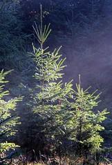 (Gerlinde Hofmann) Tags: germany village thuringia conifer nadelbaum bürden