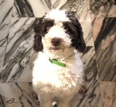 IMG_6393 (Sergio Ramn) Tags: lana perro mascota compaia fiel mejoramigo perrodeaguas