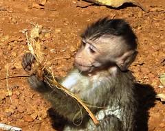 Angkor Wat - curious little monkey 4 (ashabot) Tags: animals cambodia monkeys angkor wat
