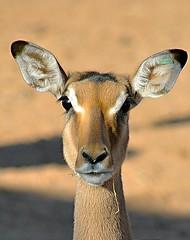 Impala (M4rc0969) Tags: africa nature animals zoo photo famiglia natura uganda fotografia impala namibia animali bioparco mammiferi zoomtorino mygearandme flickrandroidapp:filter=none