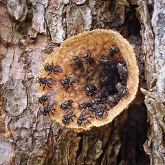 Stingless Bees (Costa Rica Bill) Tags: costarica insects herradura vision:outdoor=0922