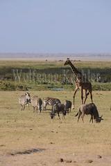10070806 (wolfgangkaehler) Tags: africa kenya african wildlife giraffe wildebeest amboseli kenyan eastafrica eastafrican giraffacamelopardalistippelskirchi masaigiraffe burchellszebra wildebeests amboselinationalpark burchellszebras amboselikenya burchellszebraequusquagga amboselinatlparkkenya