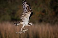 Showing Off (gseloff) Tags: birds texas mullet pasadena osprey armandbayou kayakphotography gseloff