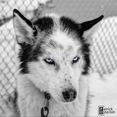 Smokey (photo-ing) Tags: dog husky finnland lappland sledge kskero