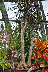 Dracaena marginata with Croton (cjh44) Tags: trees red orange plants ontario green colours sunny kingston greenhouse vision:outdoor=0913 vision:plant=0857